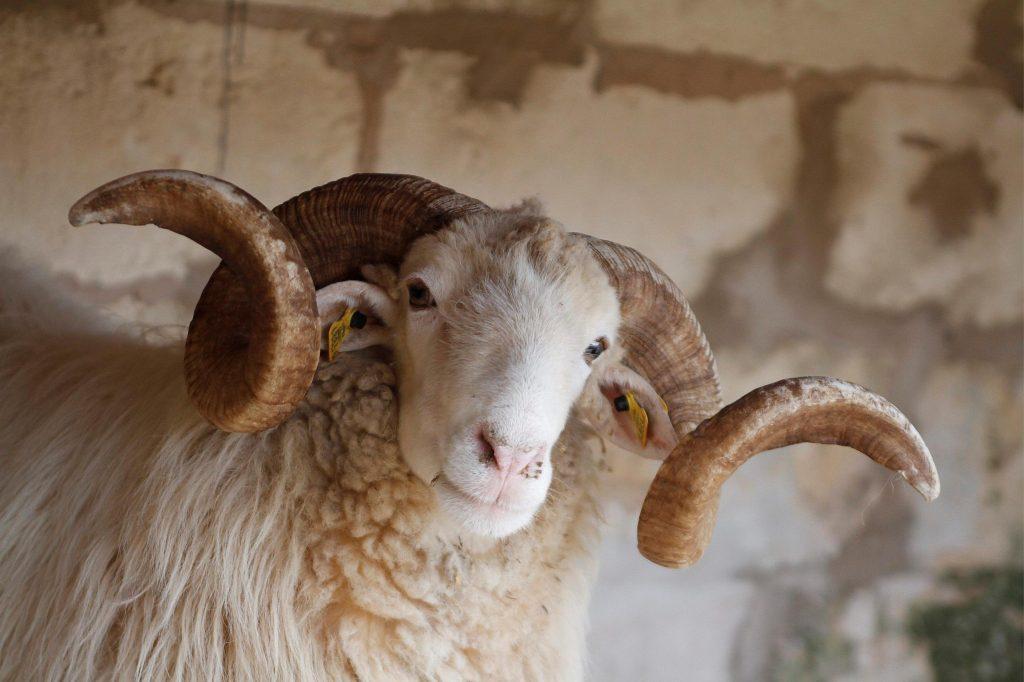 cuernos cabra menorca